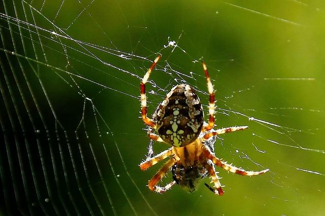 křížák na pavučině