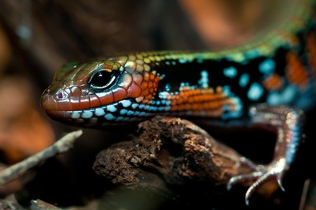 barevná ještěrka