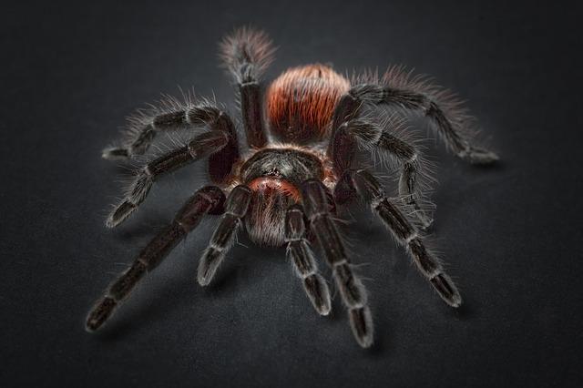 pavouk tarantule