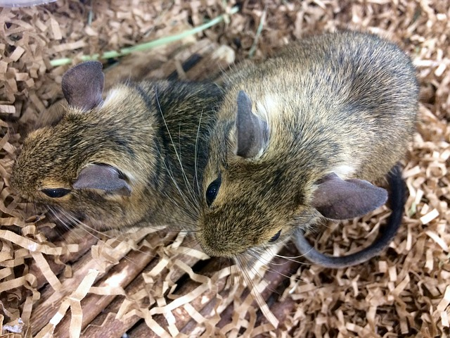 dvě myši