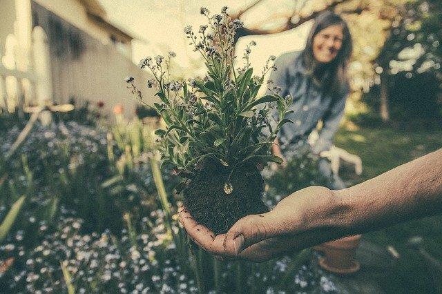 Ruka ženy, držící přesazovanou rostlinu ze záhonu